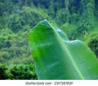 Big banana plant leaf with water drops, rainforest jungle in blurred background.