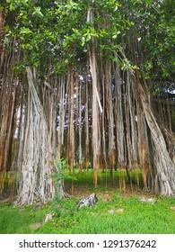 big banyan tree
