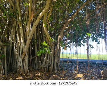 big banyan tree