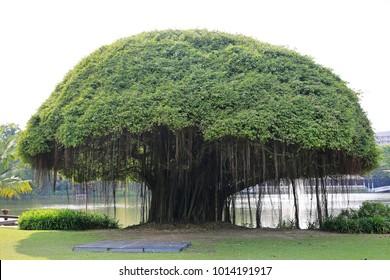 Big Banyan tree near the lake.