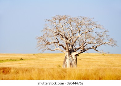 Big Baobab Tree in Yellow Fields against a Blue Sky, Angola, Southern Africa