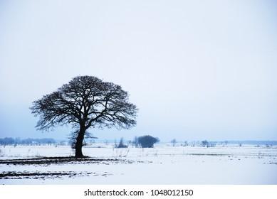 Big bare lone oak tree in a snowy landscape