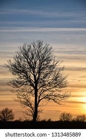 Big bare lone tree silhouette by sunset