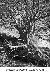 Big bare tree standing on slope in autumn with a magnificent root system shown, in black and white for vivid effect.