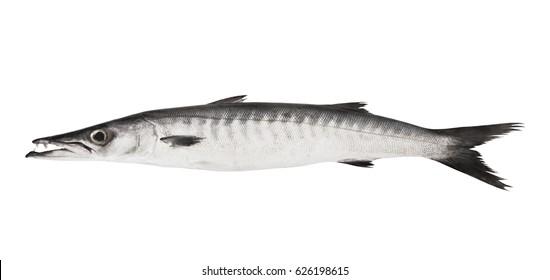 Big barracuda fish isolated on white background