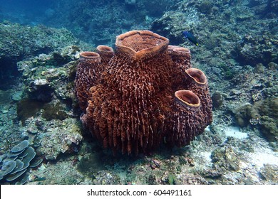Big barrel sponge coral
