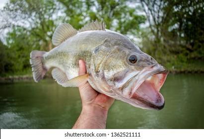 Big Bass Largemouth