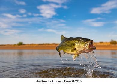 Big Bass Largemouth - Fishing