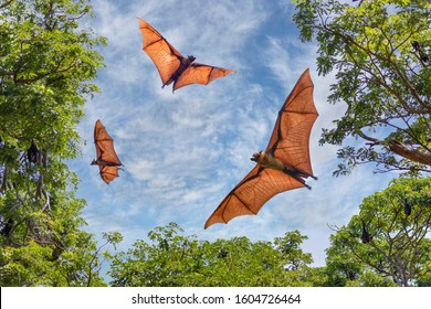 Big bats known as Fruit Bats, in Sri Lanka