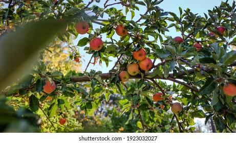 Big Bear apple tree ready for harvest