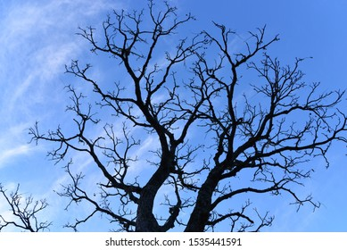 A big bear tree with branches directed to the clear blue sky