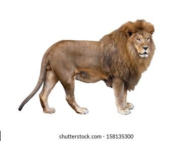 Big beautiful African lion on a white background.