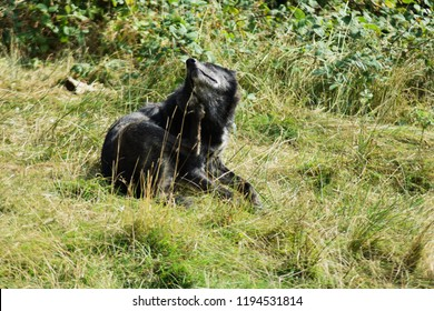 A big beautiful black wolf in sitting in the green grass in a woods forest grooming scratching and cleaning itself in the day summer time.