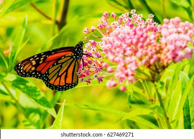 Big beautiful butterfly drinks nectar from spring flowers