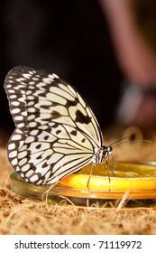 Big beautiful butterfly eating yellow lemon. Nature