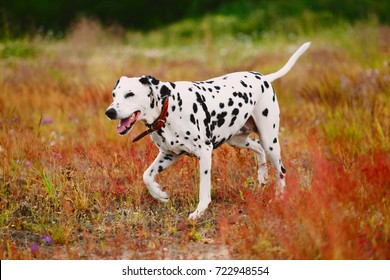 Big beautiful dalmatian walking toward a camera, on a field in cloudy day, looking aside. Green and yellow red grass background
