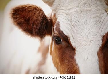 Big beautiful eye red purebred cow closeup.