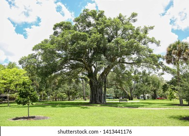 Big beautiful ficus tree grows at Hortt Park a free public park in downtown Fort Lauderdale, Florida, USA.