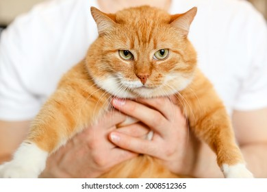 A big beautiful fluffy cat in hands of the owner.A red cat looks at camera with green eyes.A fat animal with thick white orange coat.A man scratches and strokes  cat.A pet at home.World Cat Day