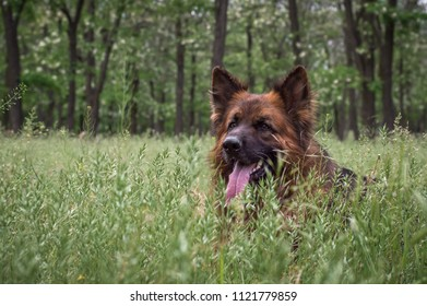 big beautiful German shepherd lies on a green glade
