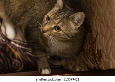 big beautiful home tabby cat