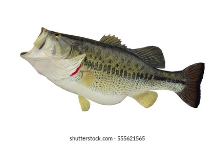 A big beautiful largemouth bass (Micropterus salmoides) isolated on a white background.