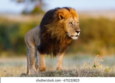 Big and beautiful Lion Lipstick early in the morning in Masai Mara, Kenya