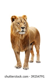 Big beautiful lion stands isolated on the white