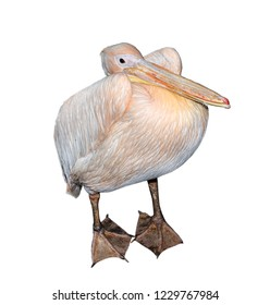 Big beautiful pink pelican isolated on white. Funny cute zoo bird pelican. Pelican - large water bird that eat fish.
