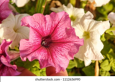 Big beautiful pink petunia