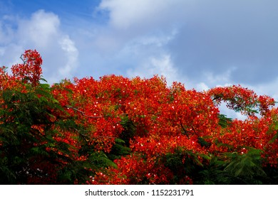 Big, beautiful and red flamboyant tree in Cancun, Mexico. Tropical Beach Nature.