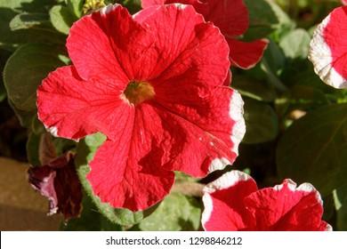Big beautiful red petunia with small white dot