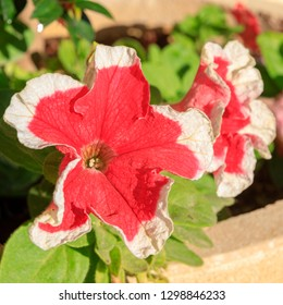 Big beautiful red with small white border petunia