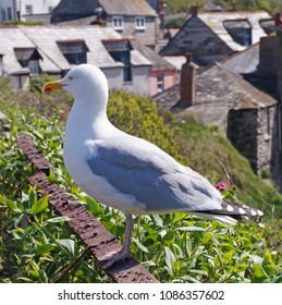 Big beautiful seagull seen in Port Isaac, England
