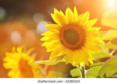 Big beautiful sunflowers outdoors. Shallow DOF.