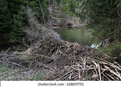 A big beaver building at a stream in Bavaria (Germany)