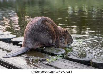 Big beaver in a river gnawing on a branch. Latvia, Riga.