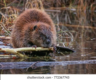 big beaver in a river outlet gnawing on a branch it chewed off of a tree along the bank and dragged over to the bank