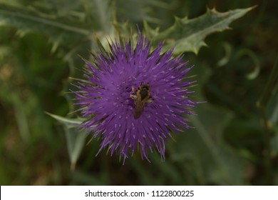 Big bee collect pollen on Flower Burdock