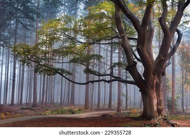 big beech tree in autumn foggy forest