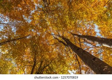 Big beech tree in autumn season