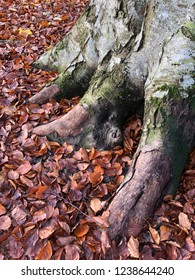 Big beech tree roots in autumn with fallen colorful leafs on the ground.