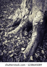 Big beech tree roots in black and white with leafs on the ground at fall.
