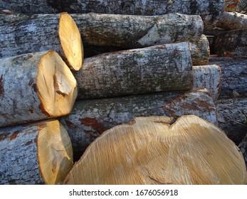 big beech tree wood logs cut