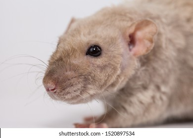 Big beige rat close up. The mouse is looking at the camera. Home decorative rodents.