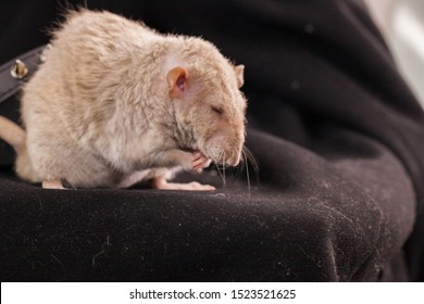 Big beige rat on a black background close-up. Mouse washes. Decorative home rodents.