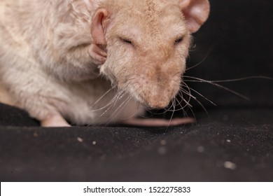 Big beige rat washes. Mouse wash. Decorative pets close up.