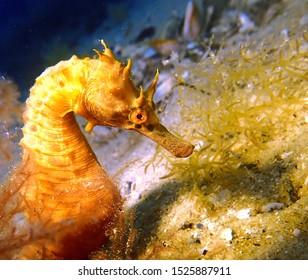 Big bellied sea horse rests in sea weed