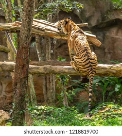 The big Bengal tiger jumping on piece of wood in the national zoo.