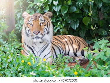 Big Bengal tiger sit on jungle.